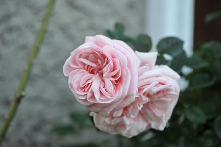 rose20151124-1b.jpg