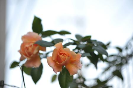 rose20151124-1c.jpg