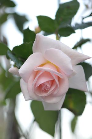 rose20151124-1d.jpg