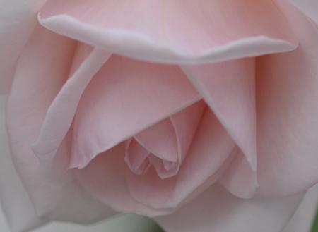 rose20151124-4.jpg