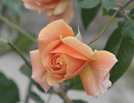 rose20151124-7.jpg