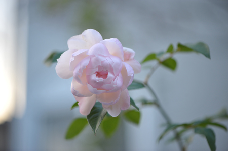 rose20151209.jpg