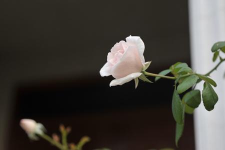rose2015927-1.jpg