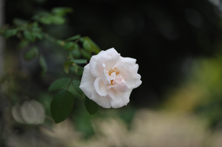 rose2015927-2.jpg