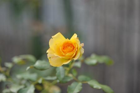 roses2015923-4.jpg