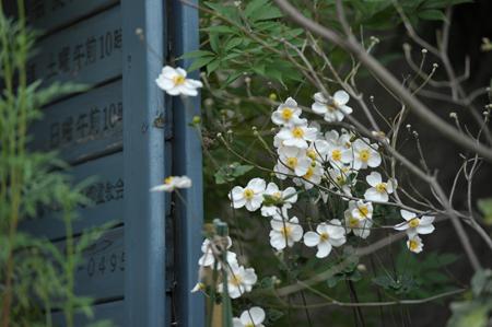 shumeigiku20151011-6.jpg