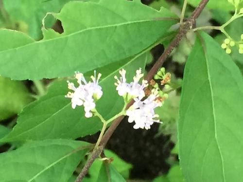 紫式部-花