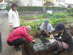玉ねぎの植えつけ
