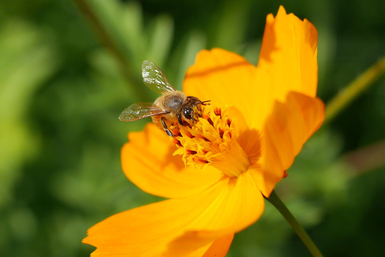 キバナコスモス、ミツバチ
