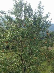 山頂の、山梨の木