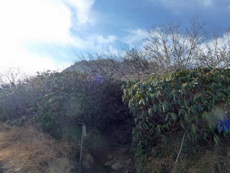 シャクナゲの群生地