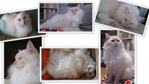 白玉猫3歳