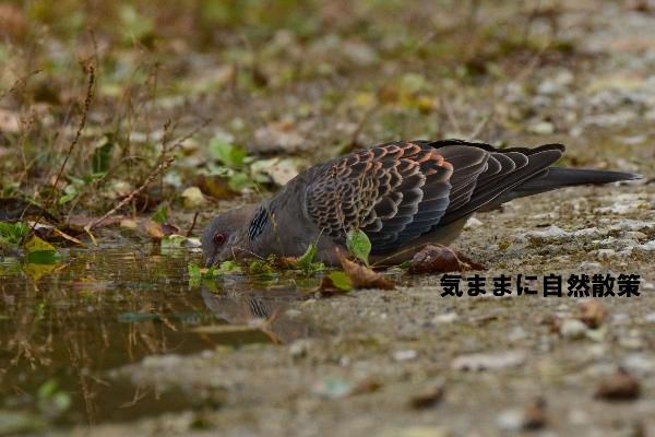 秋のウトナイ湖 (4)