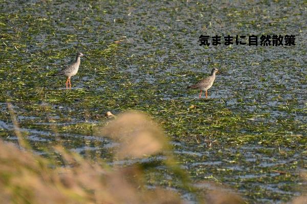 秋のウトナイ湖 (5)