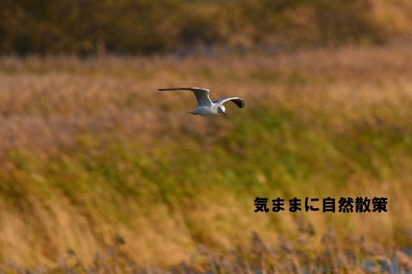 秋のウトナイ湖 (9)