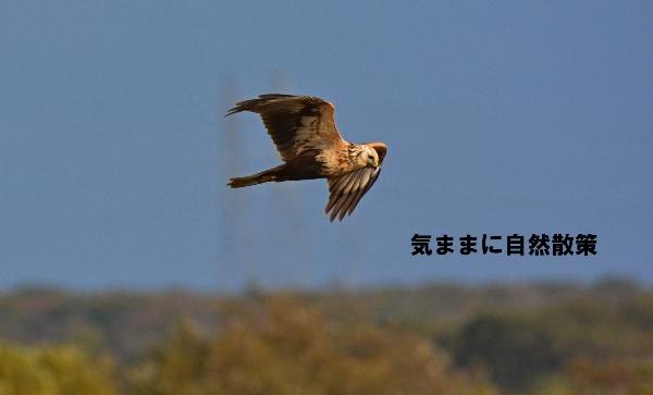 秋のウトナイ湖 (6)