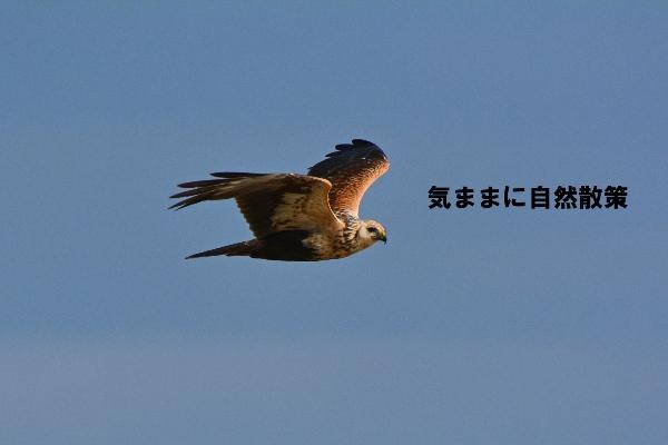 秋のウトナイ湖 (7)