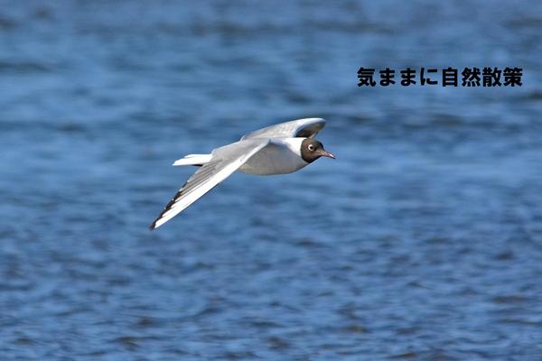 ユリカモメ (5)