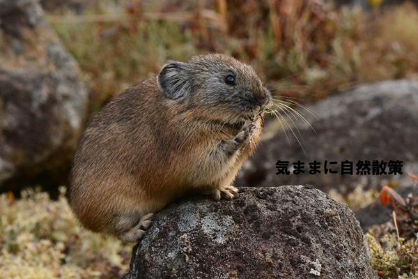151106ナキウサギ (4)