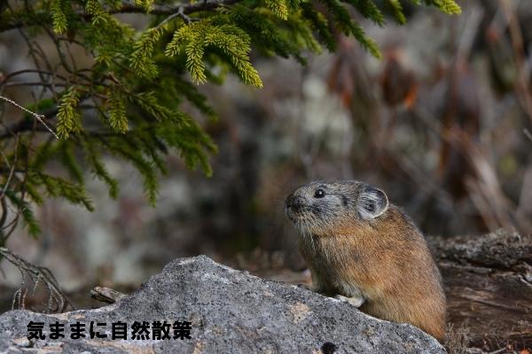 151106ナキウサギ (6)