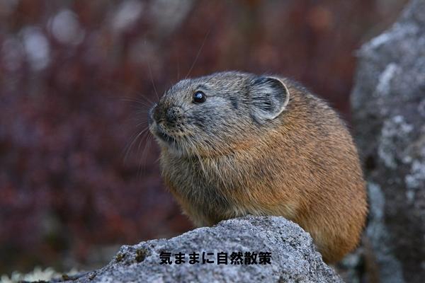 151106ナキウサギ (7)