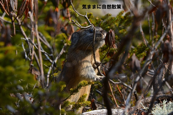 151106ナキウサギ (9)