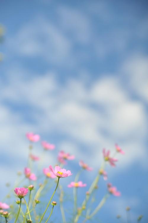 秋桜/秋空