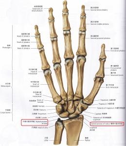 橈骨・尺骨茎状突起