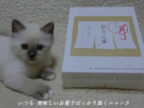 幸運を運ぶバーマン 子猫 天使