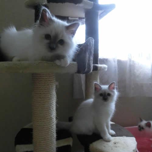 幸運を運ぶ子猫Birman バーマン子猫