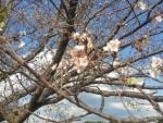 時期外れの桜