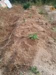 ジャガイモの芽3