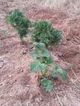 ジャガイモの芽4