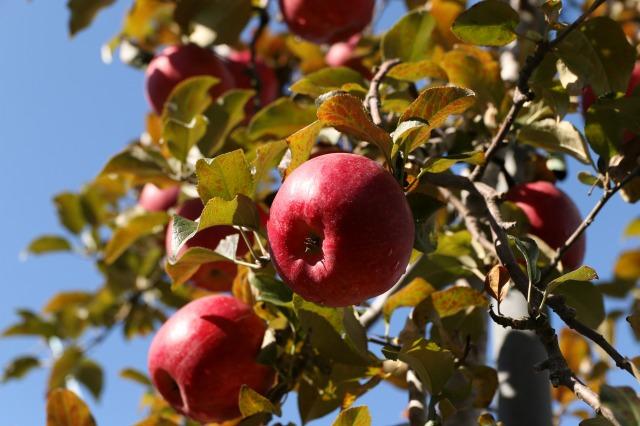 りんご刈り 高山 006