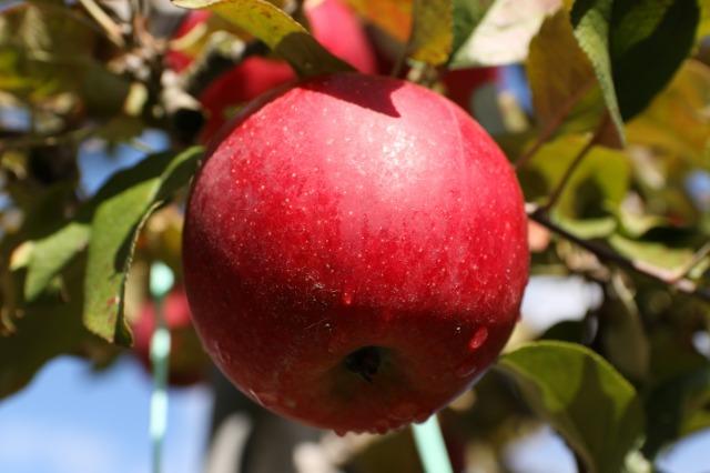 りんご刈り 高山 034
