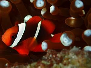 ハマクマノミ幼魚3本線