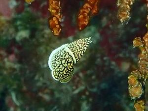 クロフチススキべラ幼魚