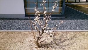 3_18雲龍梅