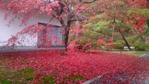 11_26紅葉絨毯