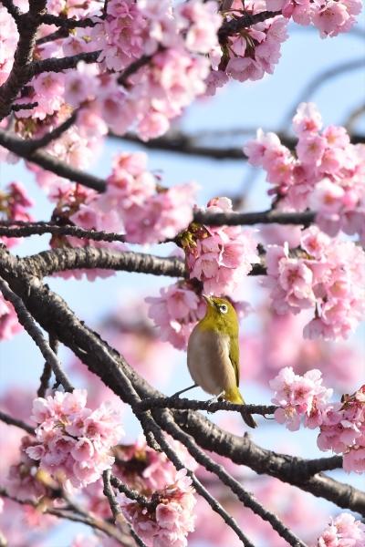 大寒桜メジロ1
