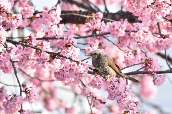 大寒桜ヒヨドリ1