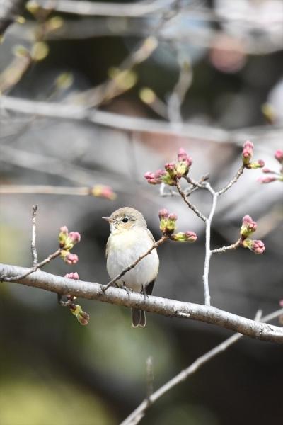 桜オジロ2