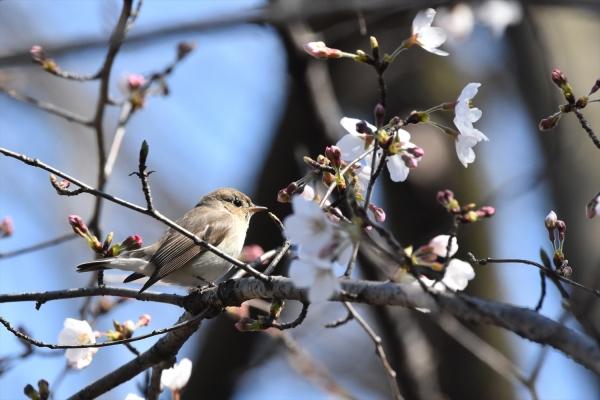 桜オジロ9