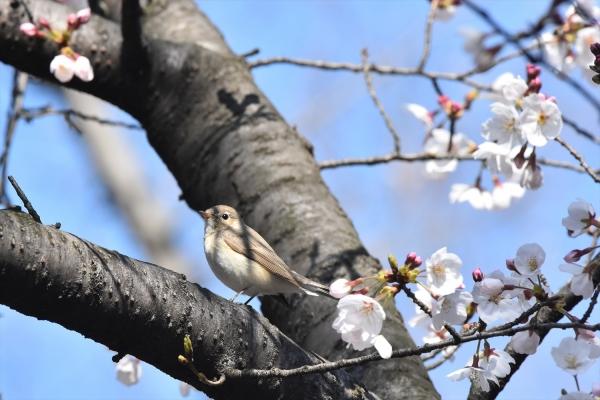 桜オジロ10