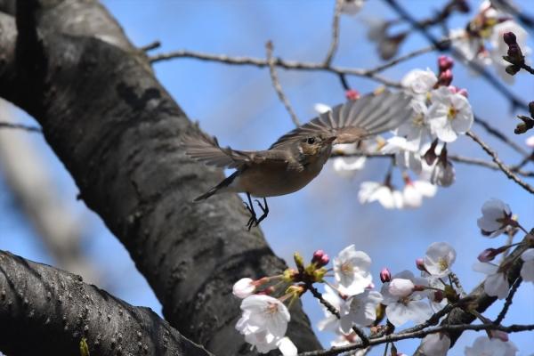 桜オジロ11