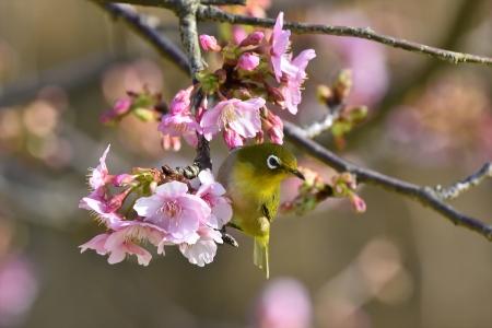 河津桜メジロ1