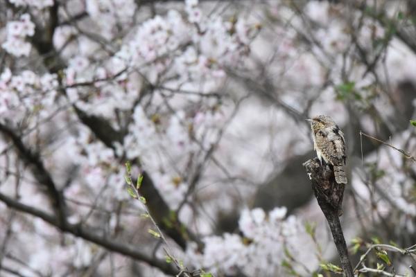 桜アリスイ3