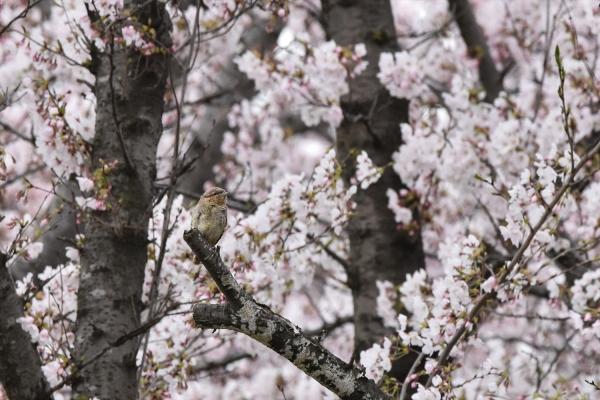 桜アリスイ5