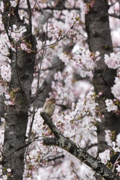 桜アリスイ6