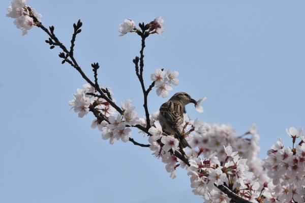 桜ニュウナイスズメ♀1